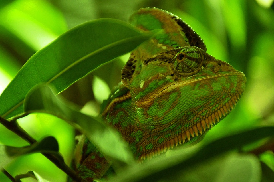 Chameleon, Reptile, Animal, Green, Head, Eye, Close