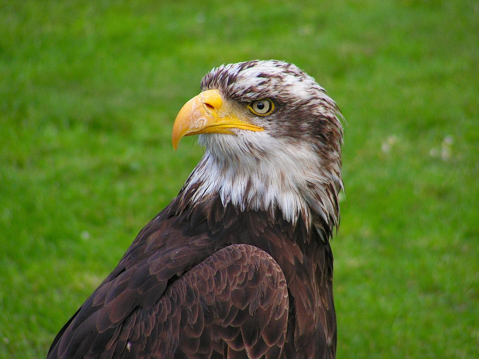 Bald Eagle, Cub, Head, Portrait, Beak, Eye