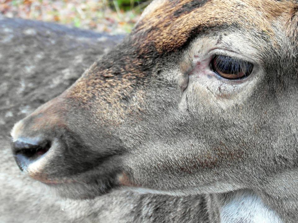 Fallow Deer, Eye, Head, Fur, Antler, Scoop, Graze