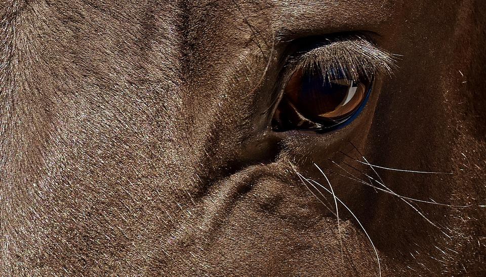 Horse, Brown, Eye, Close, Eyes, Head, Animal