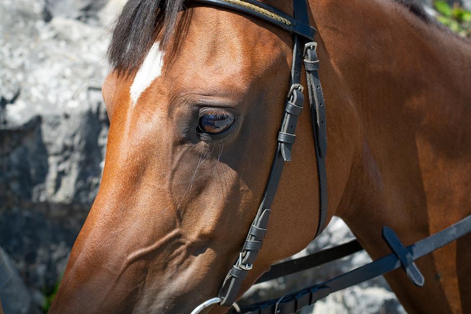 Horse, Pony, Horse Head, Brown, Animal, Eye, Badge