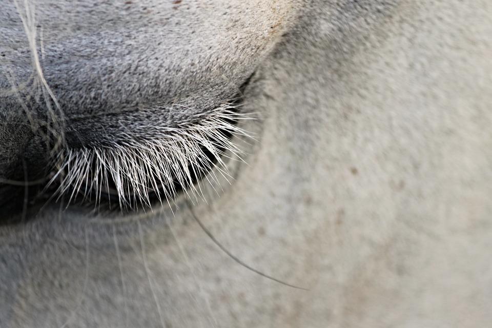 Eye, Eyelashes, Horse, Animal, Close Up, Eyelid, View