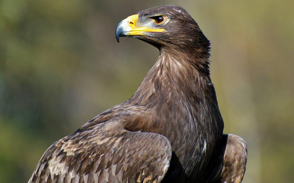 Adler, Bird Of Prey, Raptor, Bird, Bill, Eyes