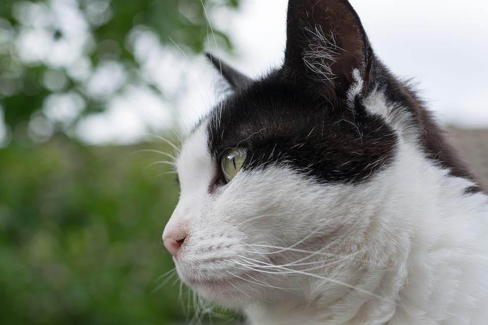 Cat, Portrait, Animal, Pets, Feline, Fur, Eyes, Intent
