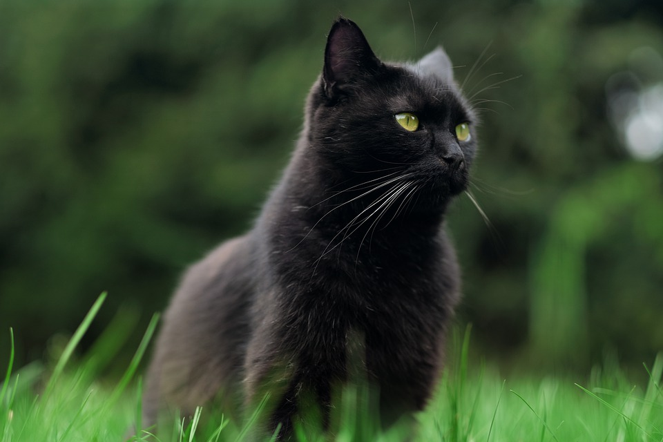 Cat, Black Cat, Pet, Animal, Feline, Kitten, Eyes