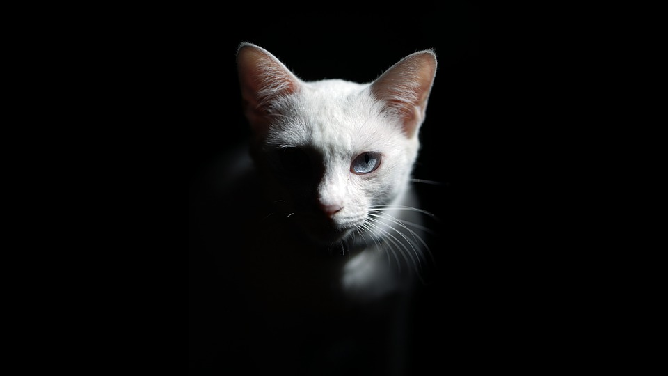 Cat, White Cat, Fur, Pet, Animal, Cute, Eyes, Tiger