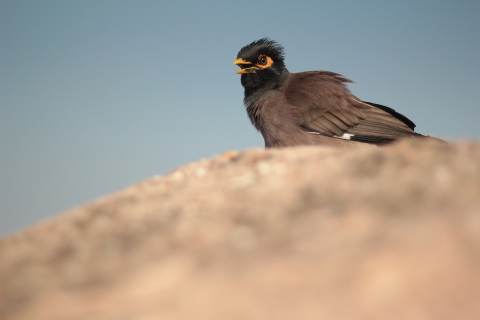Myna, Eyes, Bird, Yellow Beak, Nature