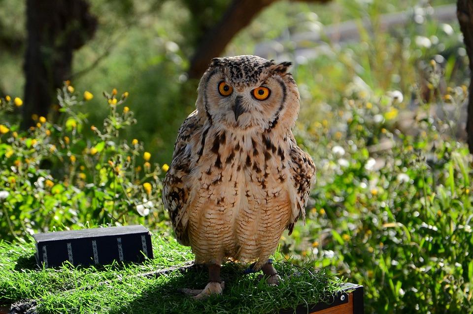 Sowa, Bird, Eyes, Summer, Animal, Birds, Wise, Pen