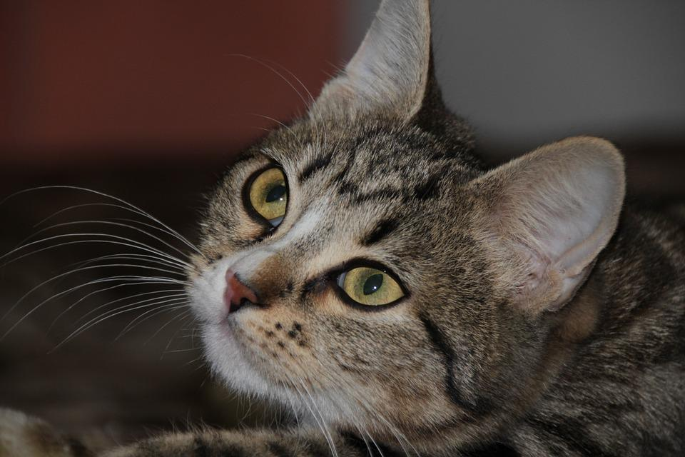 Cat, Eyes, Animals, Cat Eyes, Cute, Cat's Eye, Pet, Fur