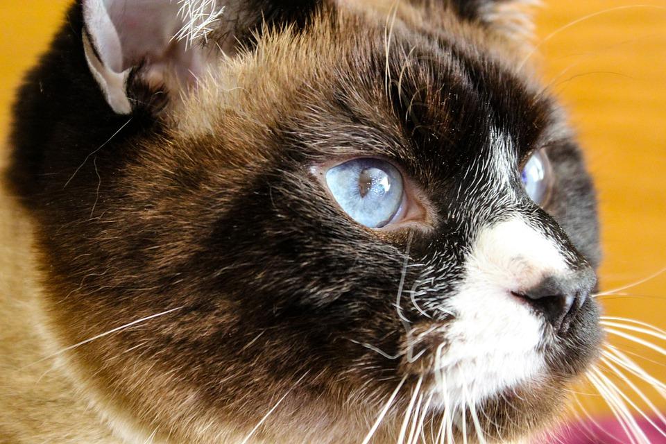 Cat, Siamese, Kitten, Pet, Kitty, Animal, Eyes, Fur