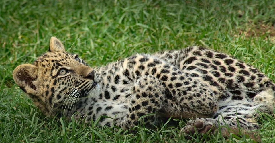 Leopard, Cub, Eyes, Stare, Spots, Rosettes, Cute