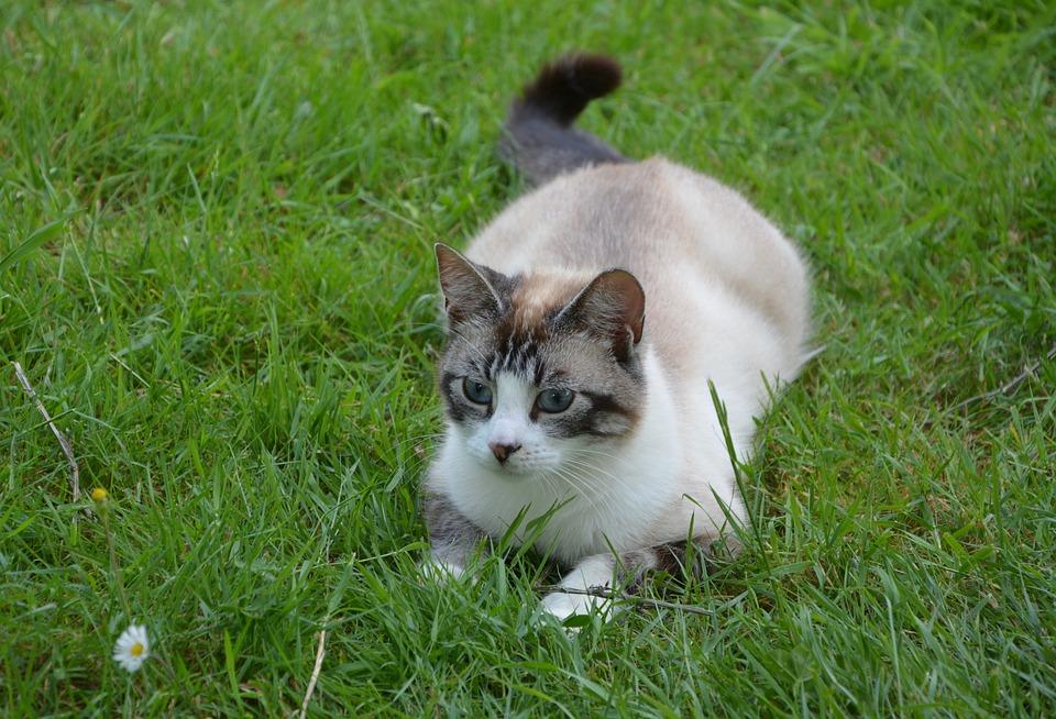 Cat, Matou, Feline, Kitty, Twink, Domestic, Eyes