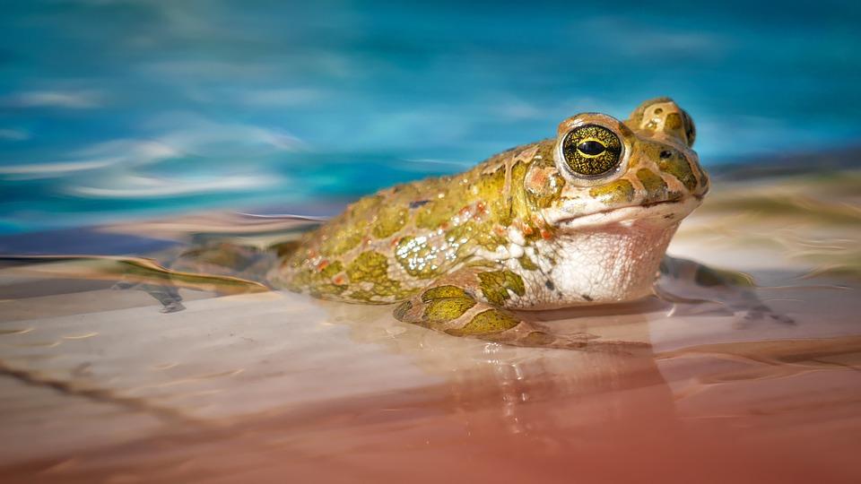 Waters, Nature, Frog, Animal, Swim, Pool, Eyes