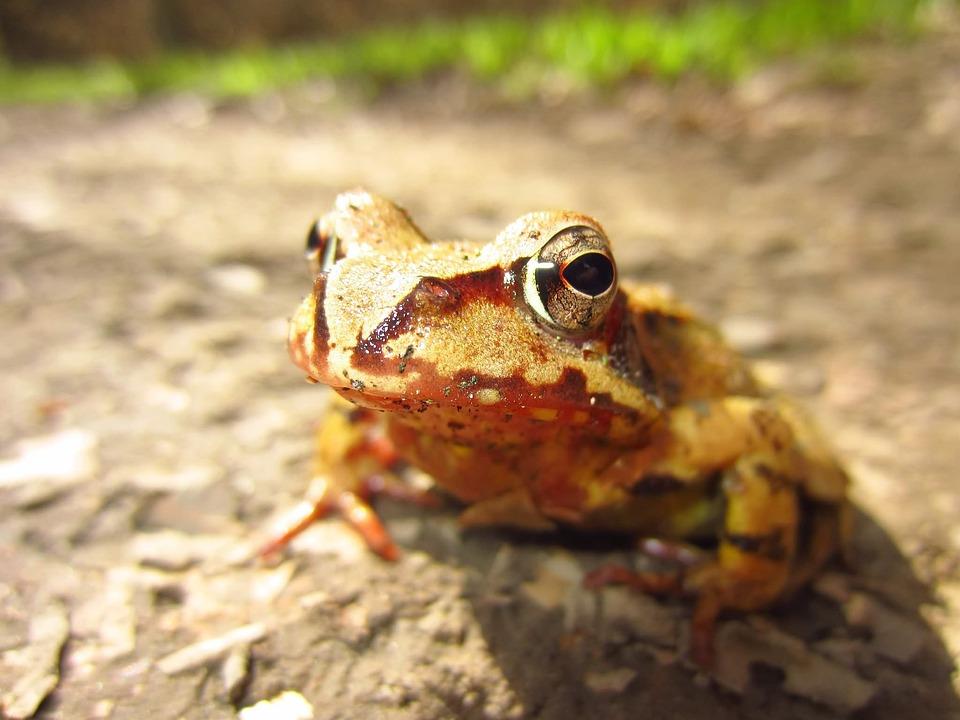 Frog, Brown, Eyes