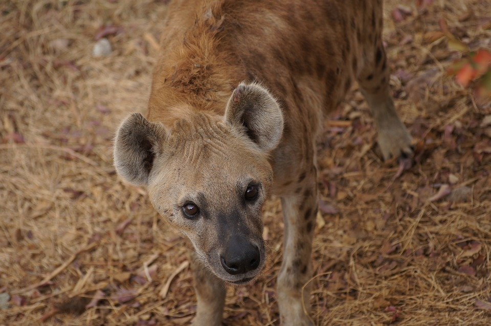 Hyena, Look, Canine, Eyes, Africa, Mali, Zoo, Ears