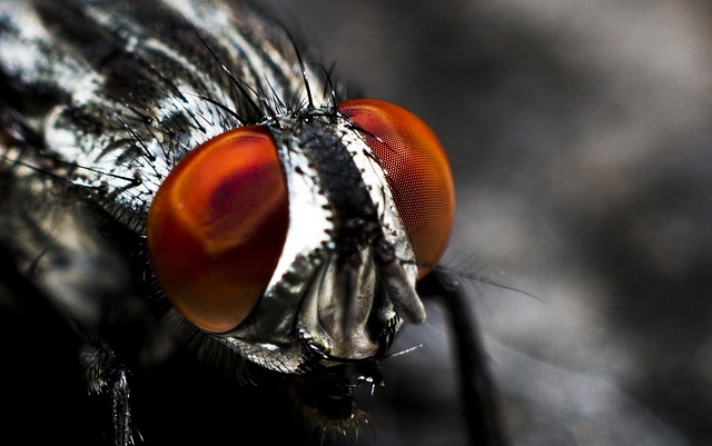Fly, Insect, Compound Eyes, Bug, Close-up, Eyes, Macro