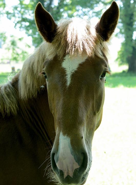 Horse Head, Horse, Head, Face, Nostrils, Eyes, Brown