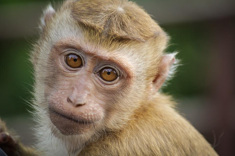 Monkey, Eyes, Animal, Primate, Cute