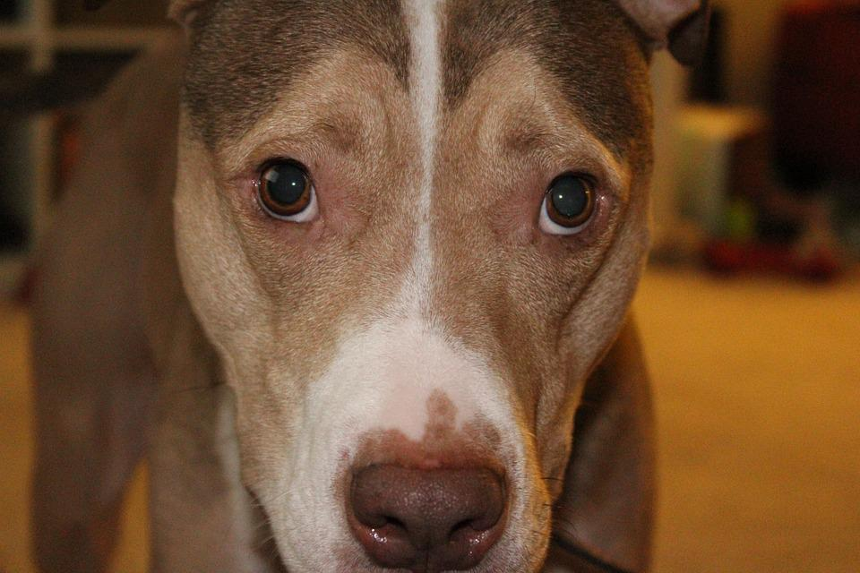 Dog, Sad, Pet, Animal, Puppy, Cute, Eyes, White, Brown