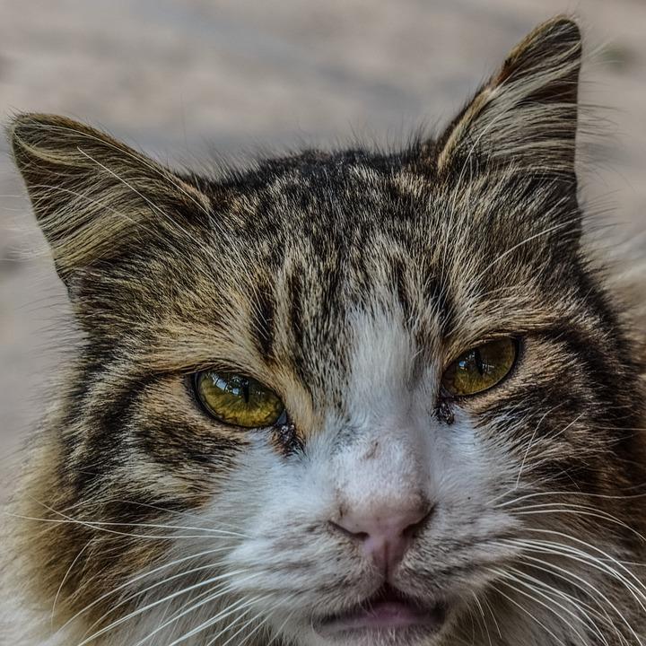Cat, Stray, Homeless, Sad, Hungry, Animal, Eyes, Face