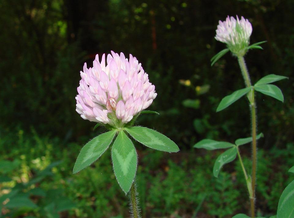 Clover, Red Clover, Fabaceae, Trifolium