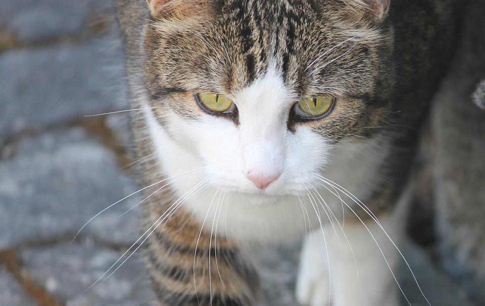 Cat, Face, Eyes, Domestic Cat, Portrait, Attention