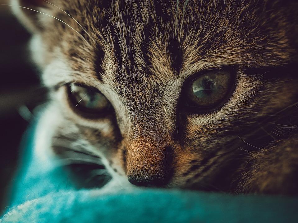 Cat, Hair, Eye, Animals, Fur, Close, Face, Mammals