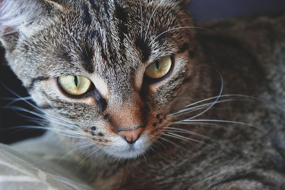 Cat, Pet, Animal, Feline, Face, Cat Face, Tabby