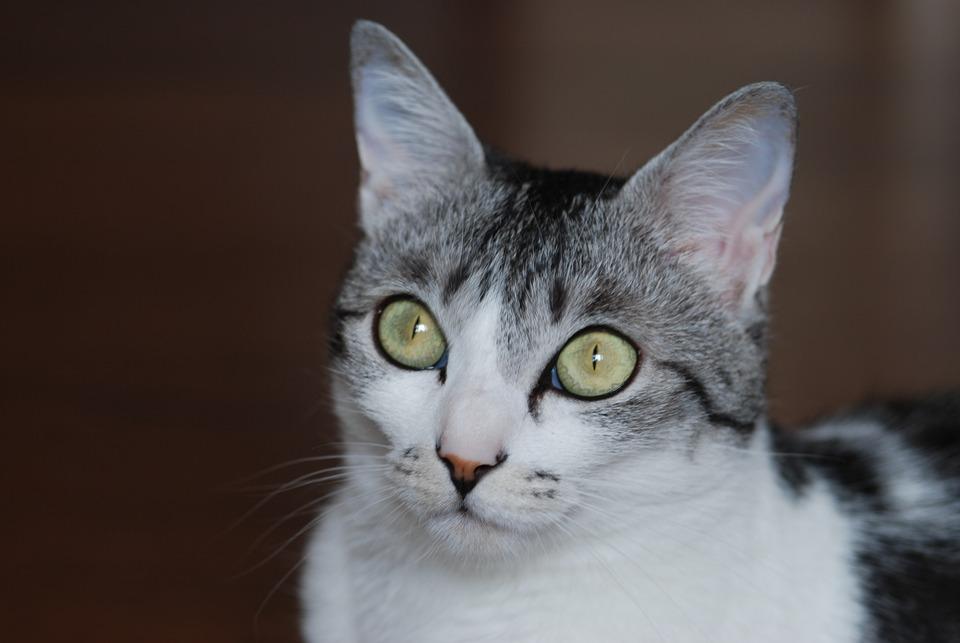 Cat, Cute, Sabaneko, Mackerel Pattern, Face, One Animal