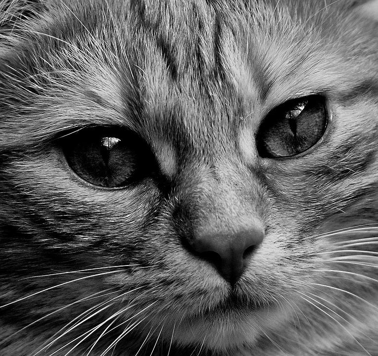 Cat, Face, Close Up, View, Eyes, Portrait, Animal World