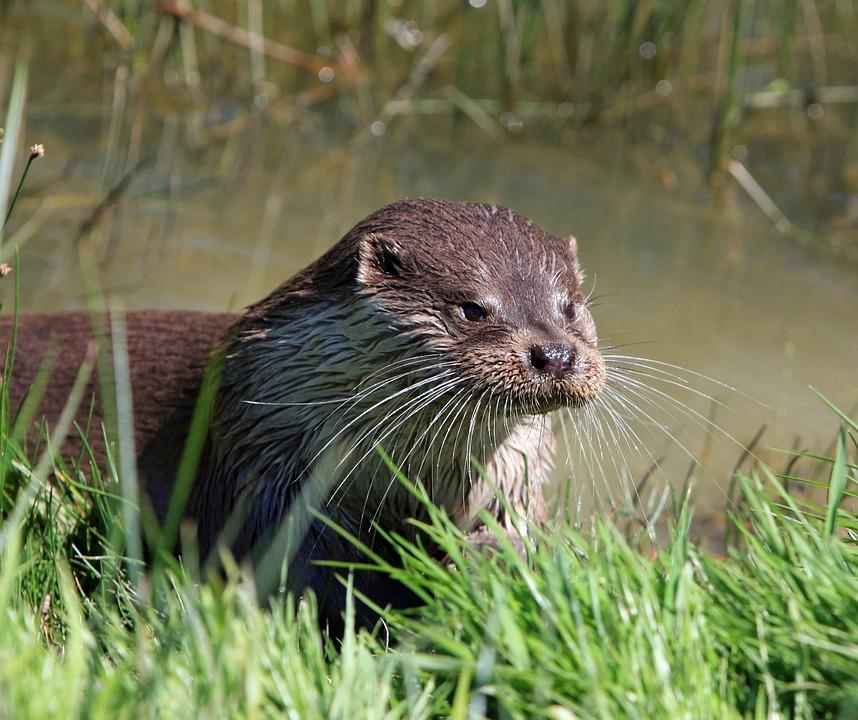Otter, Animal, Close-up, Portrait, Head, Face, Details
