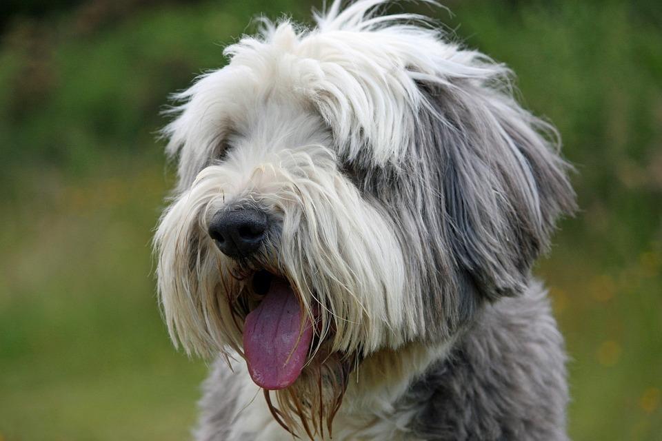 Dog, Bearded Collie, Collie, Beautiful, Animal, Face