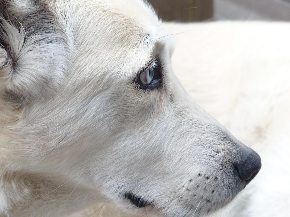 Dog, White, Face, Eyes, Portrait, Profile, Fur