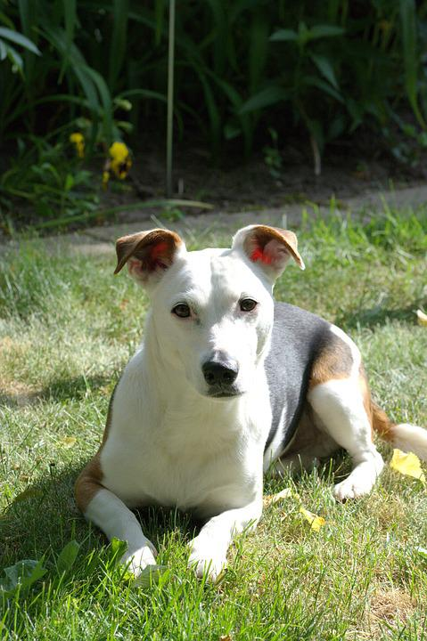 Dog, Jack Russell, Terrier, View, Pet, White, Face