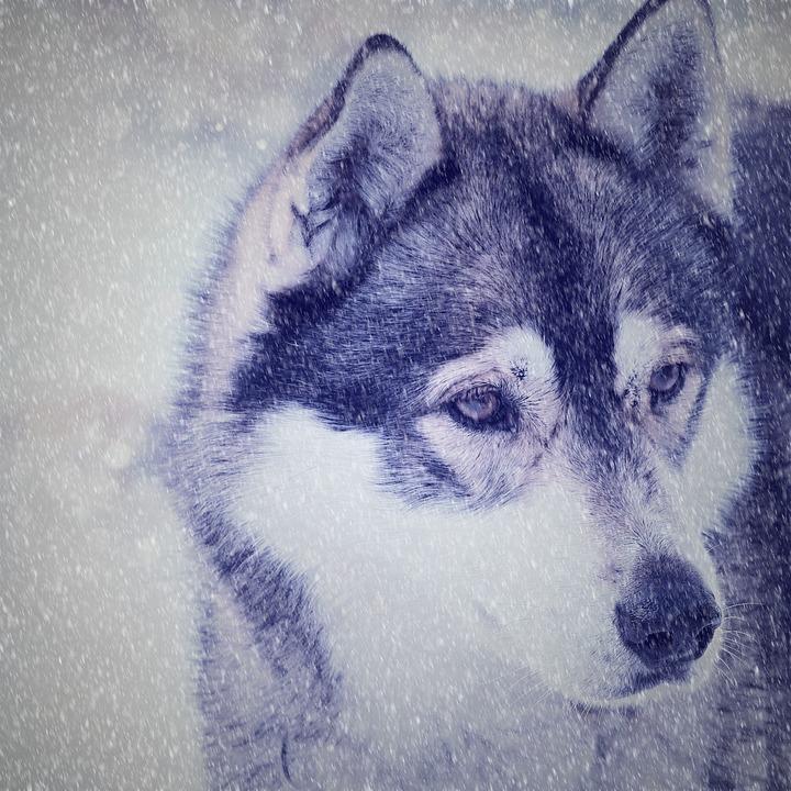 Husky, Dog, Face, View, Snow