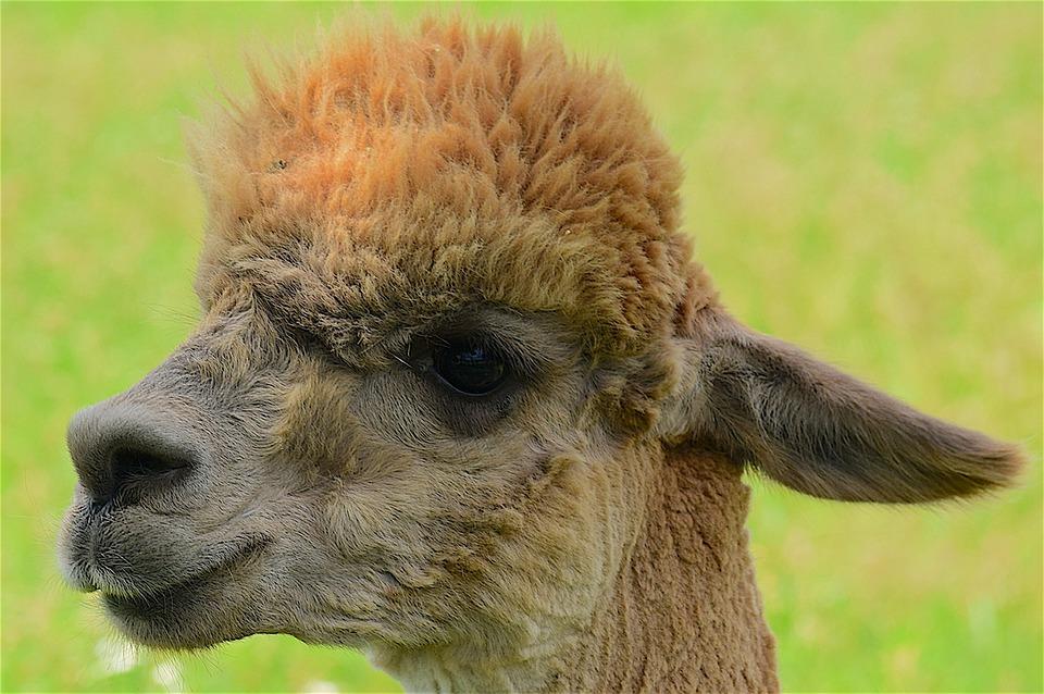 Alpaca, Fuzzy, Face, Portrait, Blond, Eyes, Animal