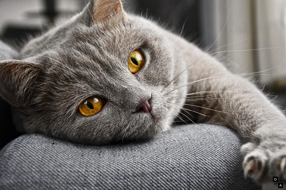 Cat, Cat's Eyes, Face, Feline, Pet, Domestic