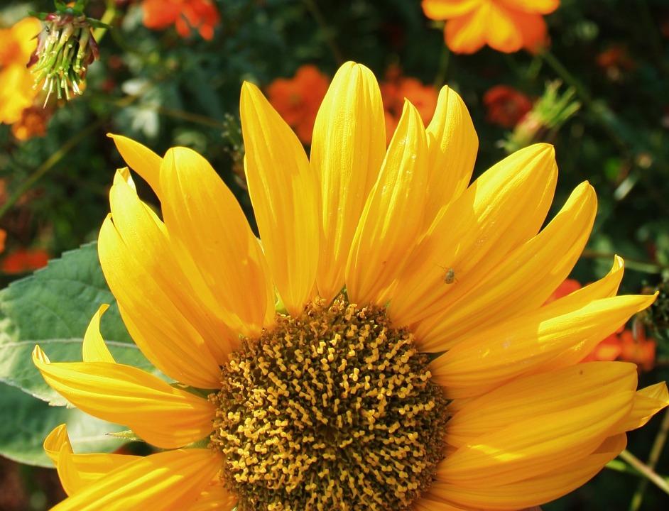 Sunflower, Flower, Face, Large, Yellow, Petals, Light