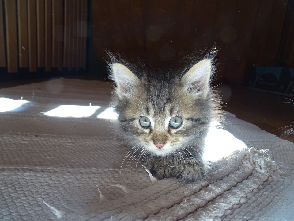 Cat, Blue Eye, German Longhaired Pointer, Face, Lying