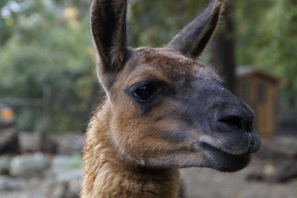 Lama, Lama Head, Head, Mammal, Zoo, Petting Zoo, Face