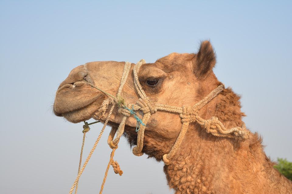 Camel, Head, Portrait, Face, Fur, Brown, Furry, Ears