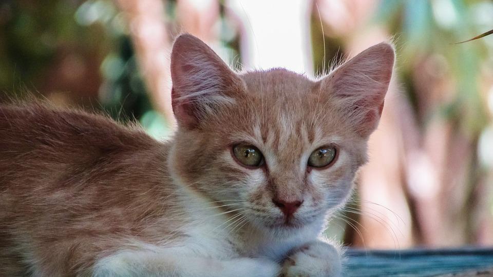 Cat, Stray, Face, Portrait, Animal, Cute, Kitten, Red