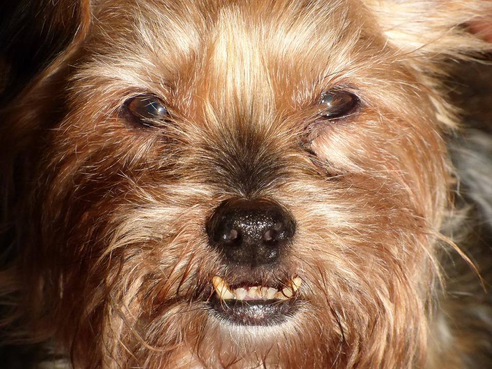 Dog, Teeth, Face, Domestic, Adorable, Portrait, Fur
