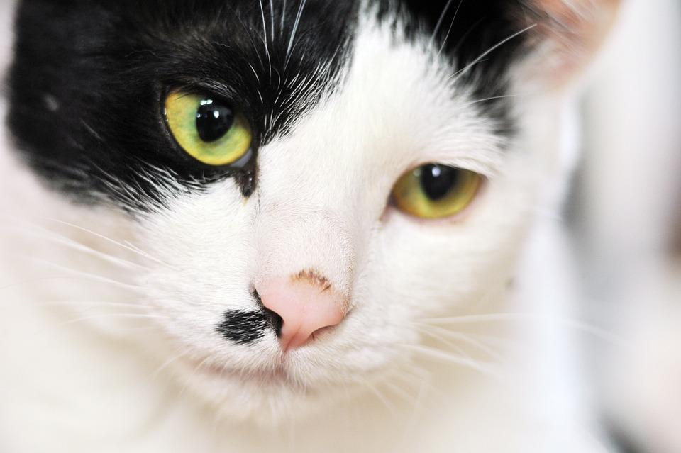 Cat, Animal, Facial, Tiger, Black, White, Fur