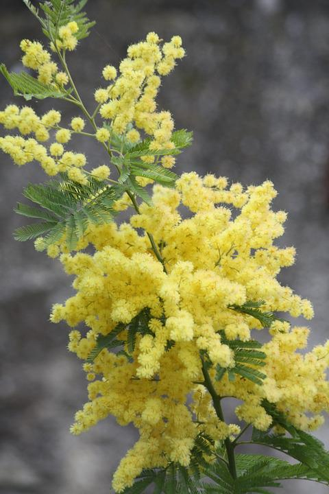 Mimosa, Flower, Factory, Yellow, South Of France