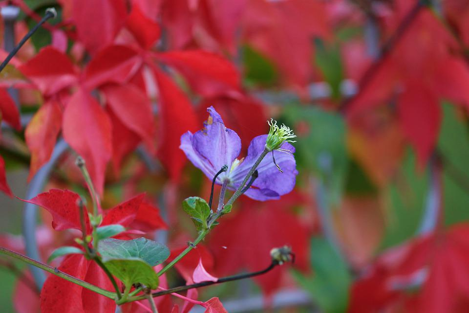 Clematis, Fall Foliage, Faded, Blossom, Bloom, Violet