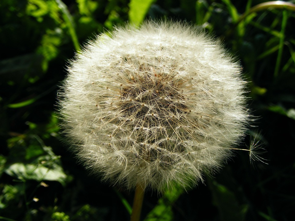 Dandelion, Faded