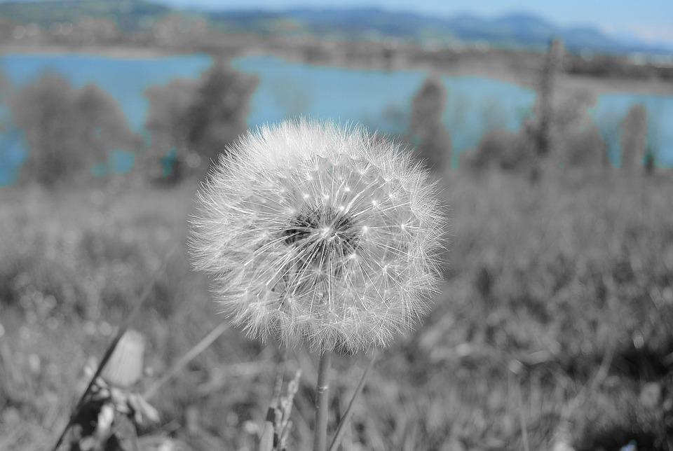 Dandelion, Tussilago Farfara, Close, Faded, Pollen