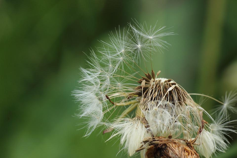 Flying Seeds, Seeds, Dandelion, Faded, Spring