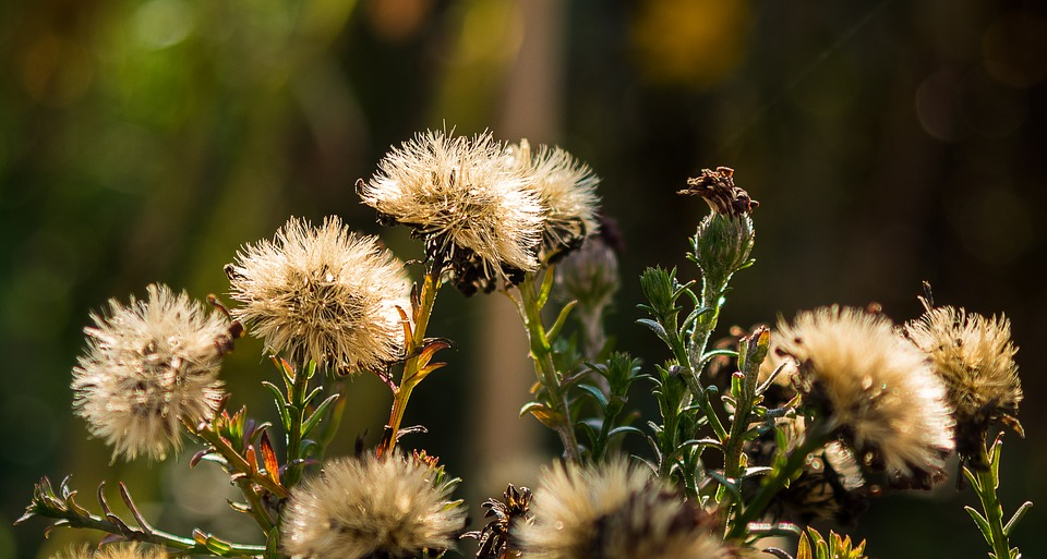 Asters, Seeds Was, Shrub, Faded, Nature, Plant, Autumn